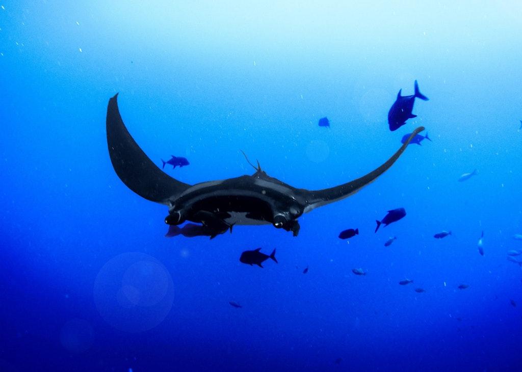 Manta rays in the Reef headquarters aquarium.