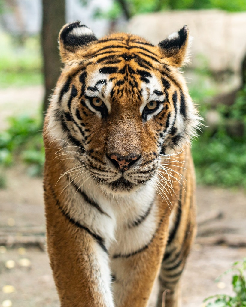 Viewing of the Tiger in Pakhui Wildlife Sanctuary