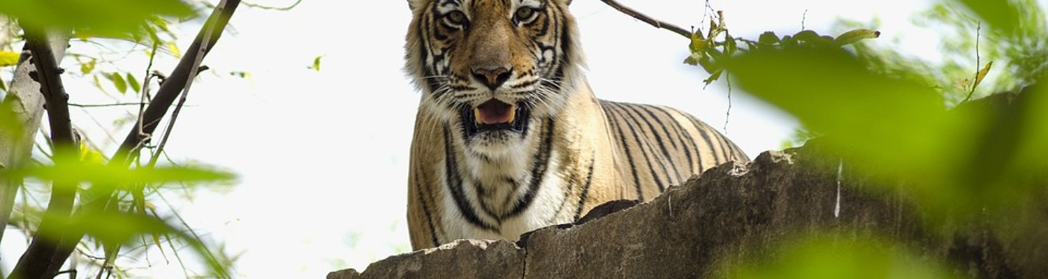Tigers in National Park