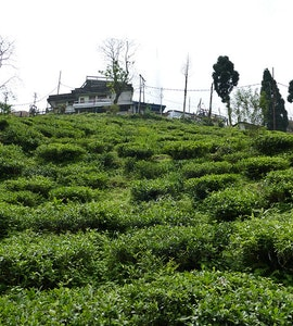 Tea Estates in Kurseong