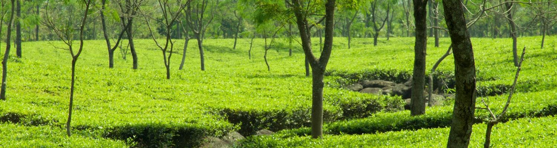 Dooars tea garden
