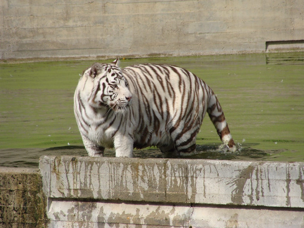 Spotting of White tiger in the Madrid Zoo Aquarium
