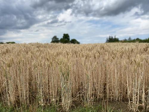 Golden fields of Cesena