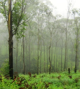 misty clad forests