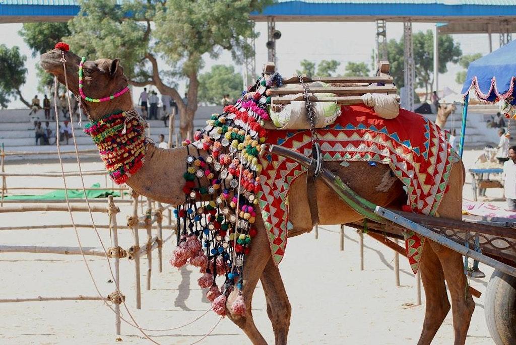 decorated camel in pushkar