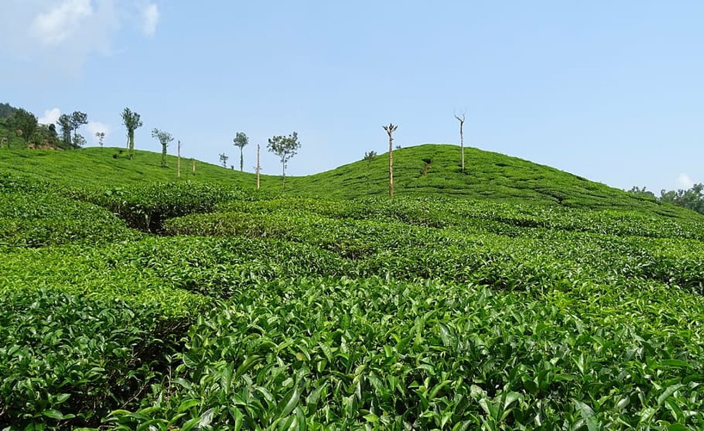 Tea plantations at Chikmagalur