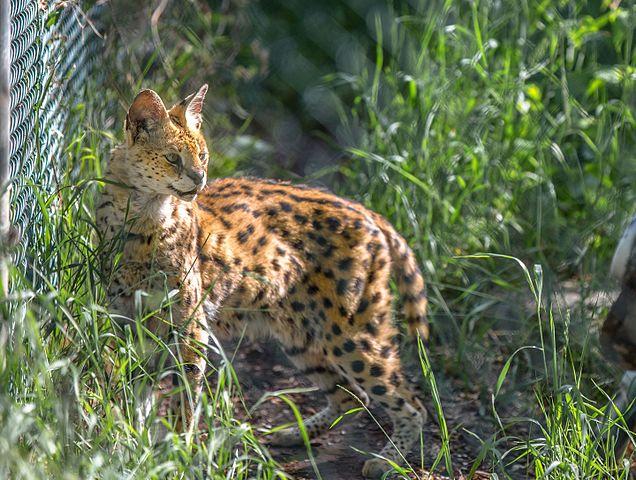 Wild Cat in Edmonton Valley zoo in Canada