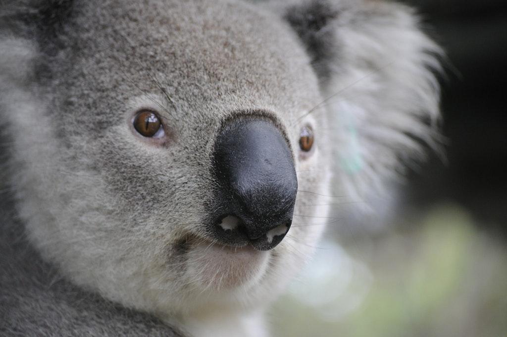 Koala sighting at the Billabong Koala Wildlife Park