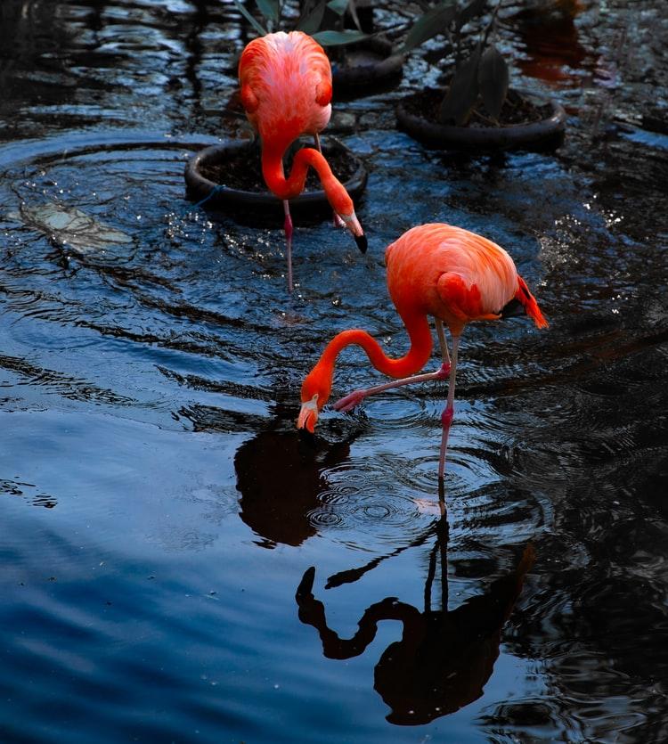 A flamingo in Toronto Zoo