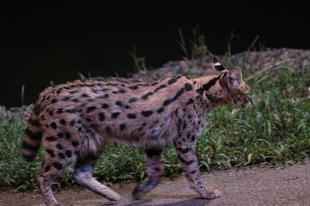 Spotting a Serval in a Night Safari, Singapore.