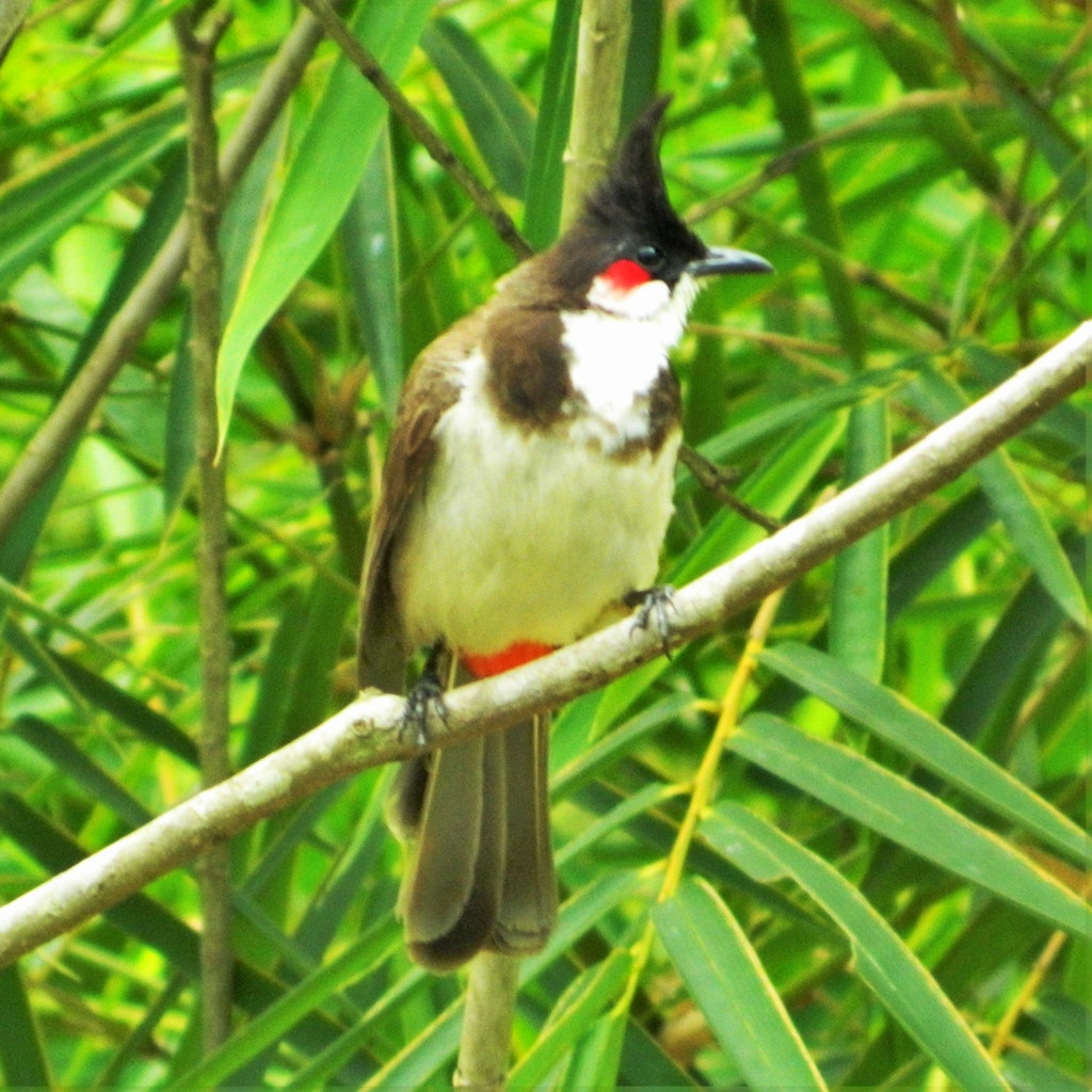 Red whiskered Bul Bul on a tree