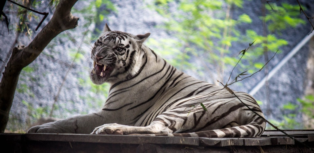 Spotting of White tiger in Arignar Anna Zoological Park