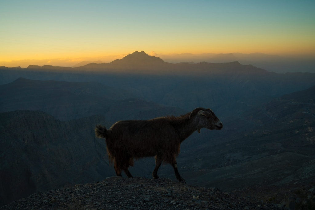 A picture of a wild goat