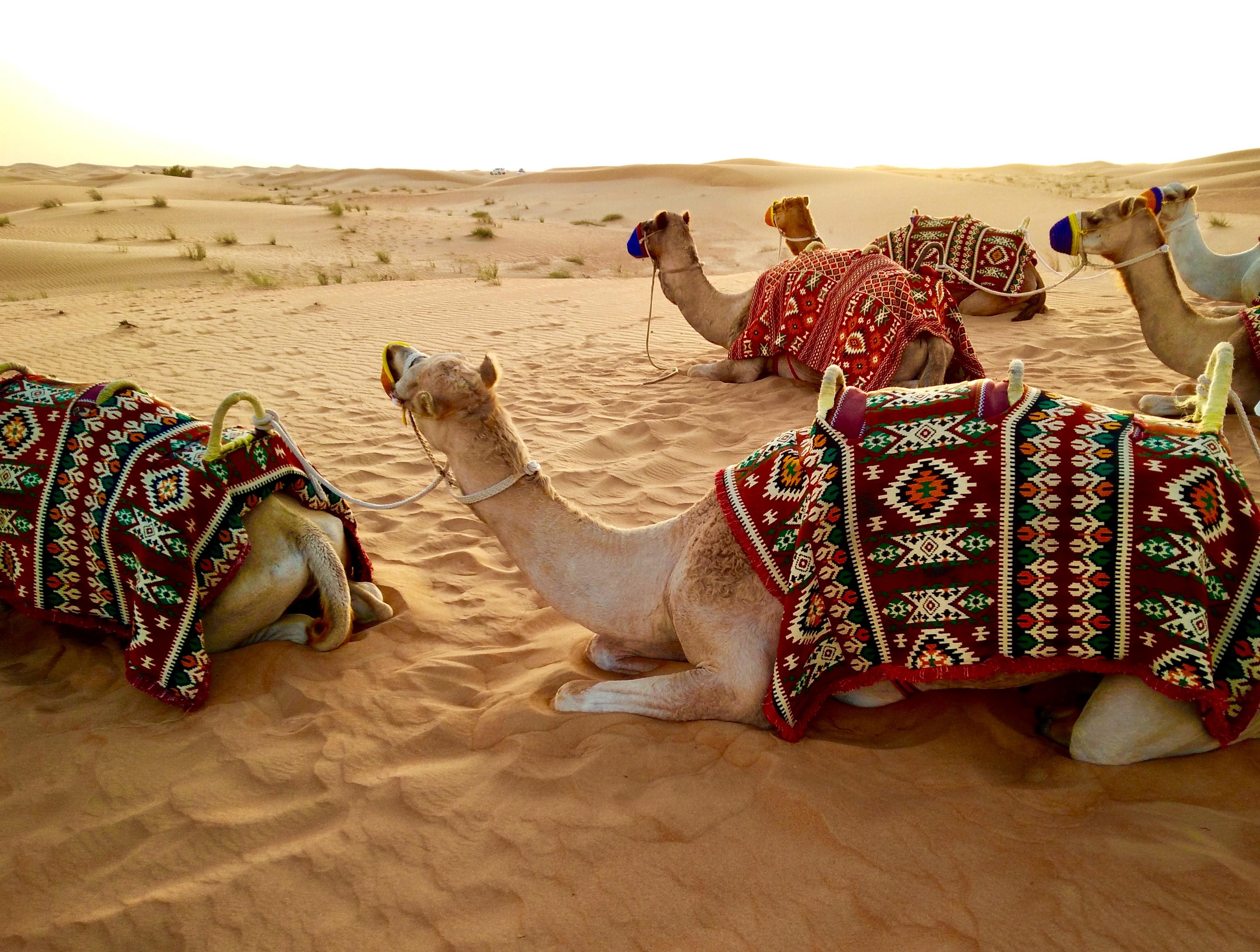 Camels in Dubai