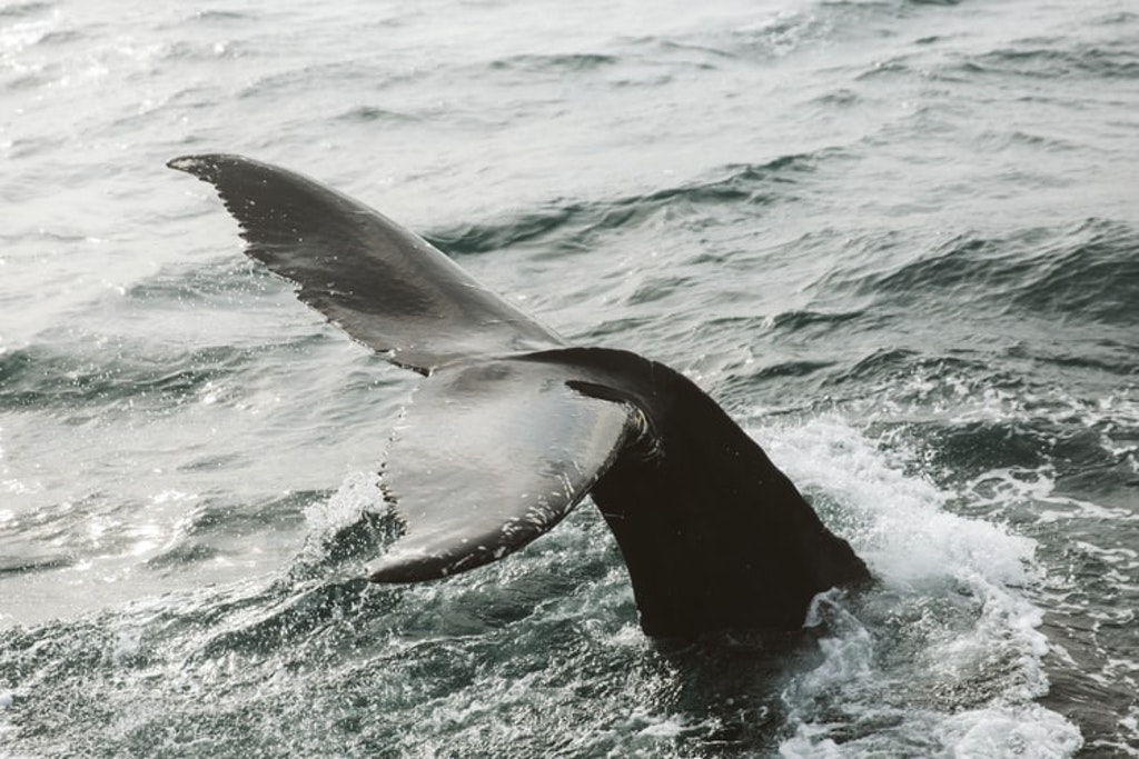 whale watching, Places to Visit in Iceland in July