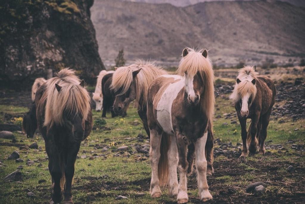 Ride on Icelandic ponies, Iceland in June