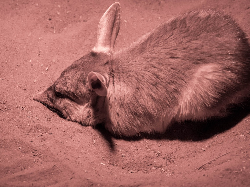 Bilby, an uncommon marsupial in the nocturnal house