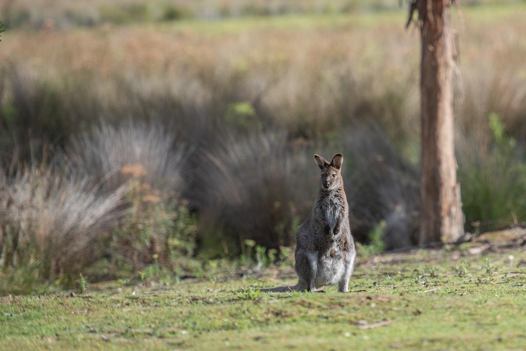 Wallaby, Unique Animals Of Australia